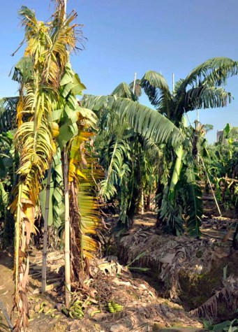 Cavendish Banana Dead from Fusarium TR4 in south China