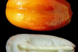 Growth regulators and germination of recalcitrant seeds