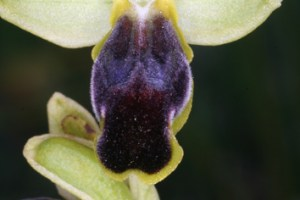 Progenitor–derivative speciation in orchids