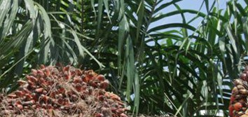 Epigenetic floral variant of clonal oil palm (Review)