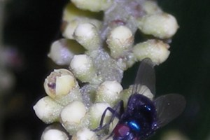 Pollination mechanisms in palms (Review)