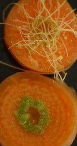 Carrots Transformed by Agrobacterium infections