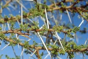 Adaptive phenotypic plasticity in Acacia