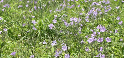 Phenology and resource allocation in Ruellia