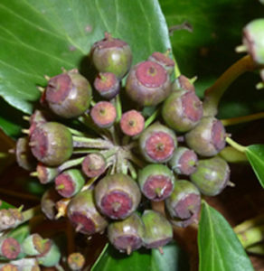 Mineral nutrient stoichiometry of <i>Hedera</i> seeds