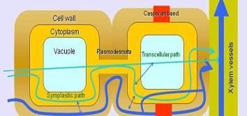 Pathways of water flow in mycorrhizal plants