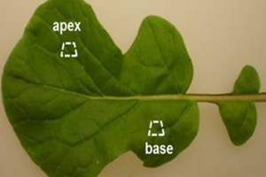 Ca and Mg distribution in Brassica rapa leaves