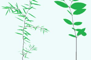 Leaf display by conifer and angiosperm seedlings