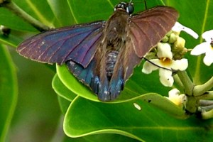 Neotropical mangroves compete for pollinators