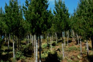 Critical buckling height and stand variation in Pinus