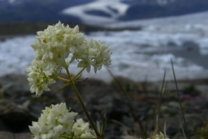 Diversity of the Galium pusillum complex in glaciated Europe