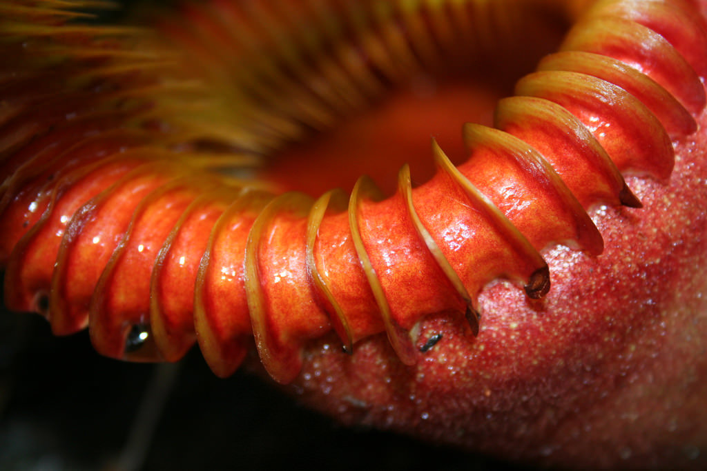 Adapted to kill: How the pitcher plant traps its prey - AoBBlog