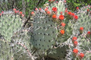 Programmed cell death drives male sterility in Opuntia