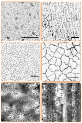 Pavement cells in different species