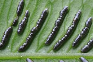 Morphological evolution of eupolypod II ferns