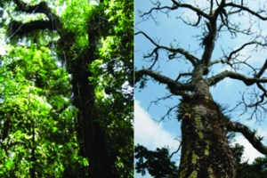 Tree phenology imposes an imprint on epiphyte assemblages from leaf physiology to community composition (Photo credit: Helena Einzmann)