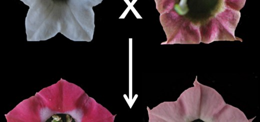 Floral colour evolution in Nicotiana polyploids