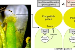 Models for the acceptance of compatible pollen and the rejection of self-incompatible pollen in Arabidopsis species.