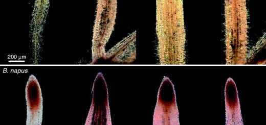 Microscopic images of Brassica root tips stained with Schiff's reagent.