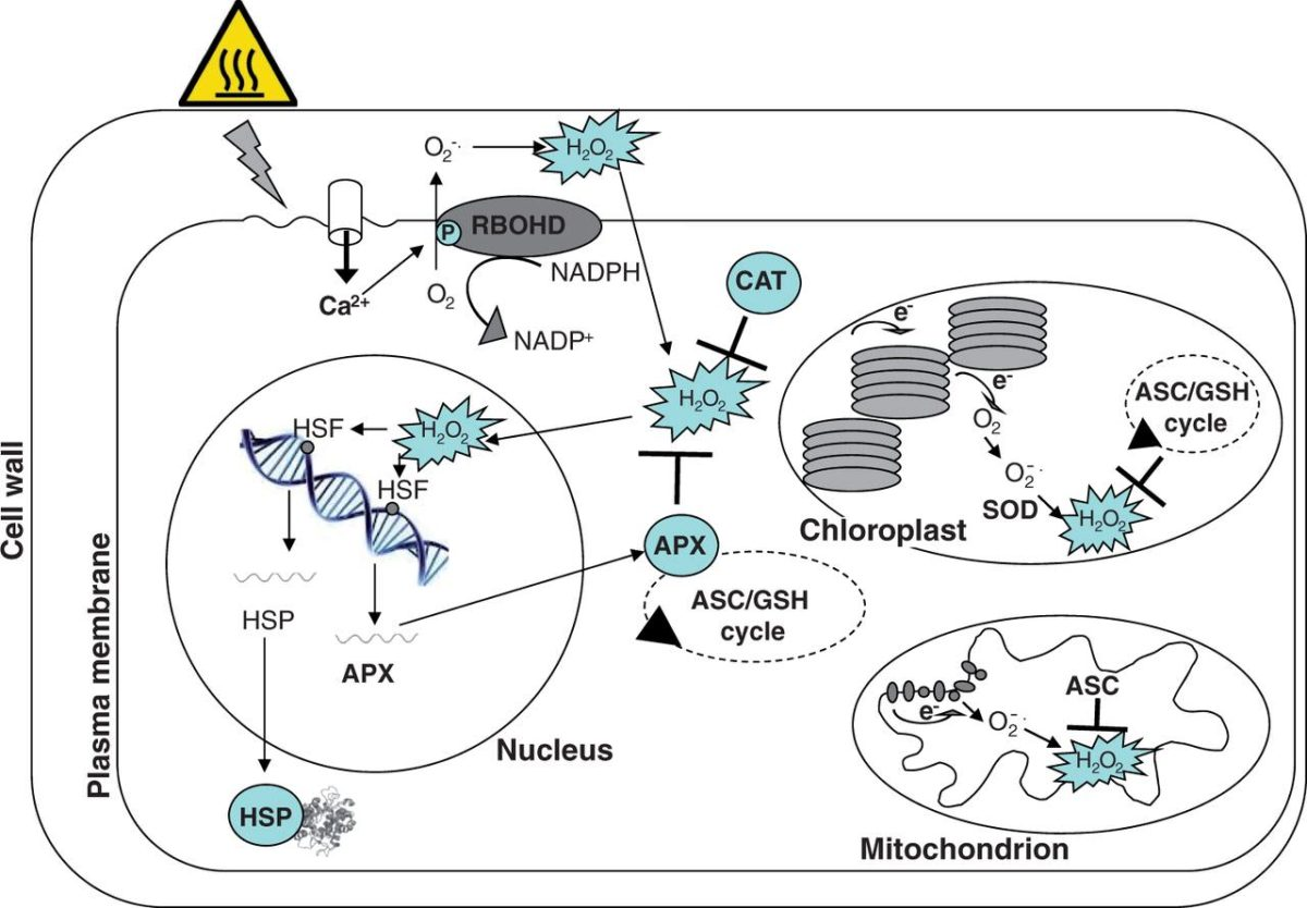 Role of redox homeostasis in thermo-tolerance (Review