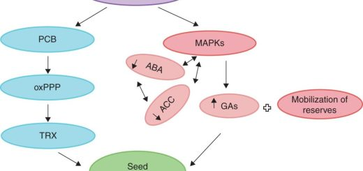 Signalling role of H2O2 in the seed germination process
