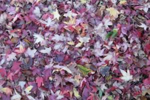 Kew Autumn Leaves Styrax