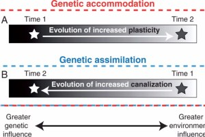 A diagram illustrating the distinction between genetic accommodation and genetic assimilation. Genetic accommodation is any adaptive genetic change in the environmental regulation of a phenotype.