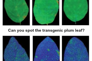 Chlorophyll fluorescence parameters in leaves of non-transformed (WT) and transgenic (lines C3-1 and J8-1) plum plants under control conditions.