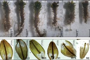 Representative shoots (upper images) and leaves (lower images) of Syntrichia caninervis from the N addition treatments illustrate the different shoot lengths and leaf length.