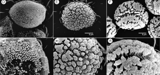 Scanning electron microscope photographs of the investigated moss spores.
