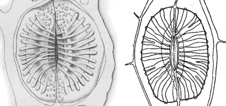 Drawings of Equisetum stomata.