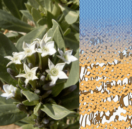 Maintaining the integrity of the cuticular transpiration barrier even at elevated temperatures is of vital importance for hot-desert plants.
