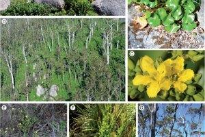 Ornduffia species and habitat in the Porongurup Range, south-western Australia.
