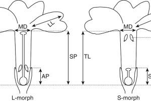 Floral traits measured in individuals of P. marginata (hexaploids and dodecaploids) and P. allionii (hexaploid species).