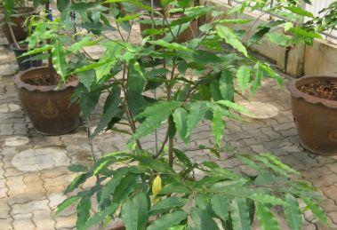 Aquilaria cressna seedlings