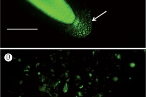 Characterization of root border-like cells (BLCs) of Heliophila coronopifolia using the fluorescent dye Syto-9, which binds to cellular RNA and DNA.