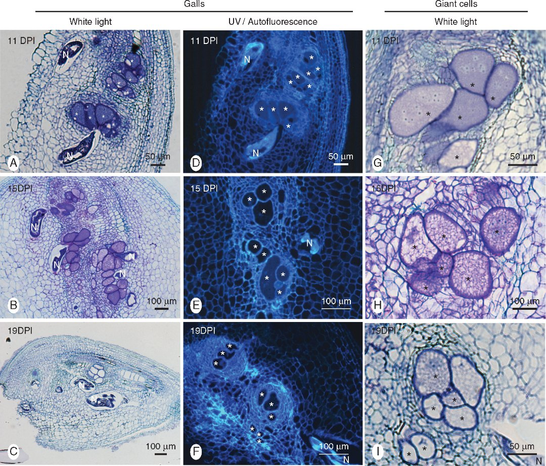 Histological analysis of galls induced by Meloidogyne graminicola in resistant rice (Oryza glaberrima TOG5681) roots.