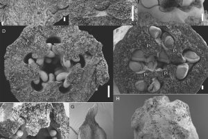 Late floral and gynoecial differentiation of Berberidopsis beckleri.