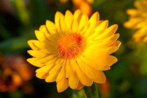 Xerochrysum bracteatum, commonly known as the golden everlasting or strawflower