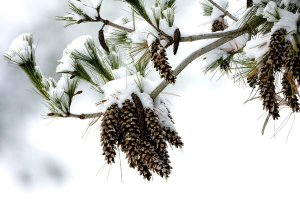 Eastern white pine (Pinus strobus) experiencing winter stress.
