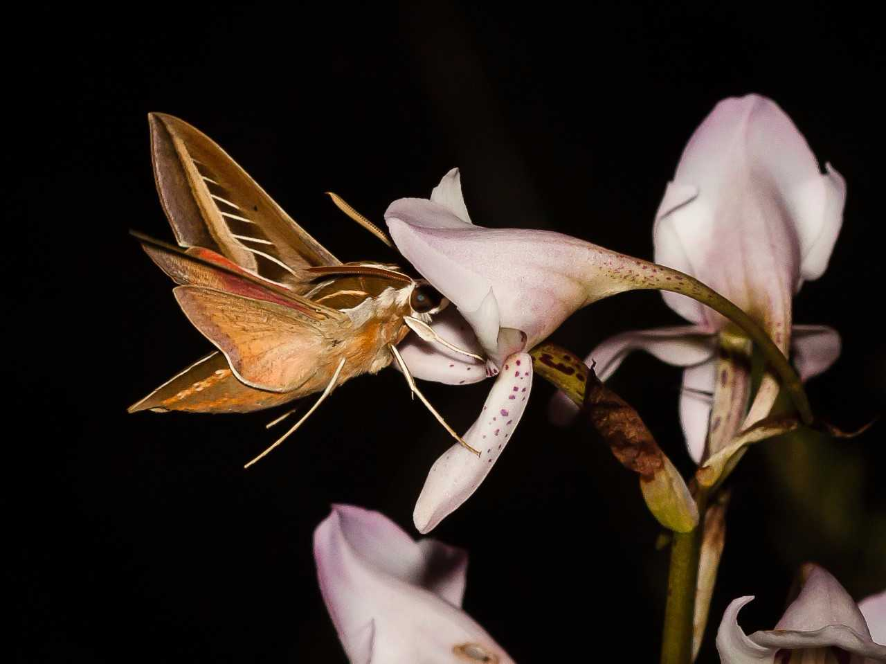 The hawkmoth Basiothia schenki visiting a flower of the orchid Disa crassicorni at dusk in the Drakensberg Mountains. Free State, South Africa. Photo credit: Michael R. Whitehead