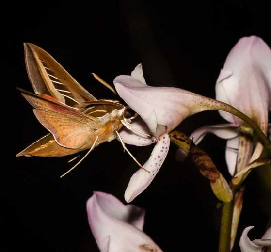The hawkmoth Basiothia schenki visiting a flower of the orchid Disa crassicorni at dusk in the Drakensberg Mountains. Free State, South Africa. Photo credit: Michael R. Whitehead.