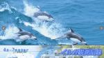 イルカ情報サイトを青森大研究室が 下北・陸奥湾回遊300頭の大群も観光客増加に期待!