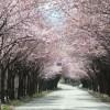 世界一の桜「オオヤマザクラ」並木 in HIROSAKI