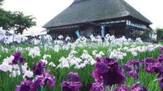 村鯉艸郷(りそうきょう)で「花菖蒲まつり」2018開催!@6月23日~7月16日