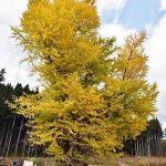 十和田市「国の天然記念物・法量のイチョウ」今年も黄葉した!