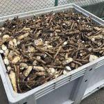 青森県東北町スマートエコ「ナガイモ廃棄物で発電」=「ゆうき青森農協」