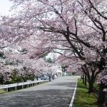 あおもり「ひらないの春まつり」2019開催!わんこホタテ世界選手権@5月3日!