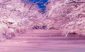弘前・冬に咲くさくらライトアップ!