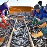 「ハタハタ」ハマにどっさり/鯵ケ沢で漁本格化